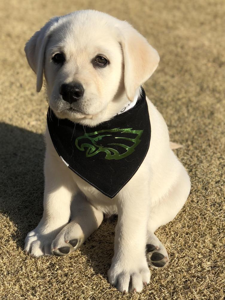 10-week old Bowie digs the Eagles and wears a wee little bib bc he is a puppy. Credit: Queenie's Pets.