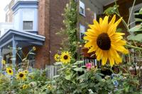 A sunflower blooms in West Mt. Airy, one of the city's healthiest neighborhoods.