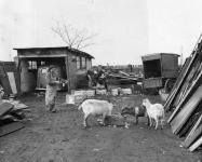 Goats on Stonehouse Lane, March 1953, Evening Bulletin | Special Collections Research Center, Temple University Libraries, Philadelphia, PA