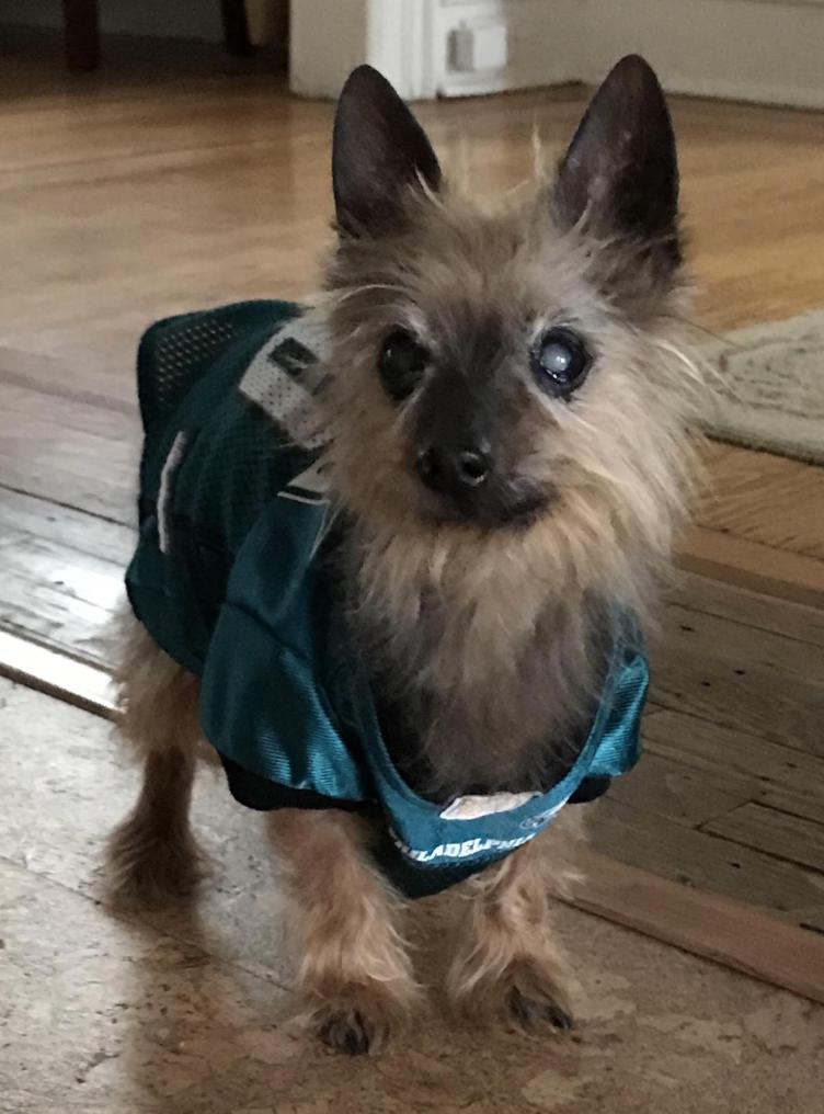 Lulu in Chestnut Hill wants to be held by Jason Kelce. She would look so tiny in his arms! Credit: Queenie's Pets.